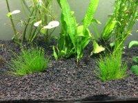 Aquatic Arts Dwarf Hairgrass - Live Aquarium Plant by ...