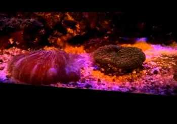 Corals Fighting