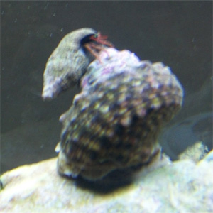 Hermit Crab Riding Snail