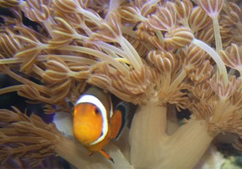 Clownfish in Xenia