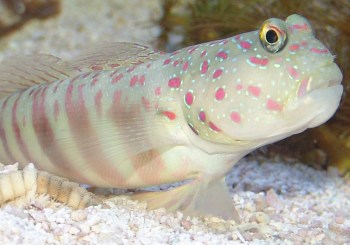 fat and happy goby