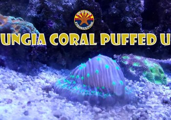 Fungia Coral Puffed Up