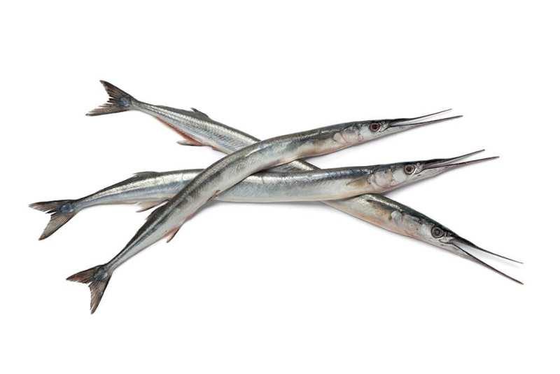Zărganul- peștele cu oase verzi