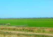 2016-6-13d rice along SR99