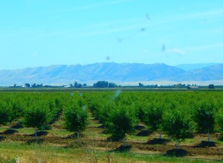There are many, many fruit and nut trees in Kalifornistan, the home of fruits and nuts!