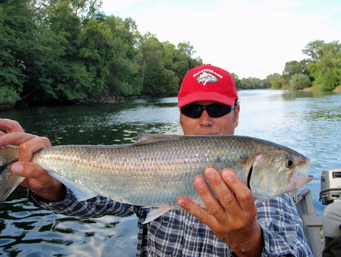 Big roe shad like this 6 pounder will give you all the fight you want on light gear