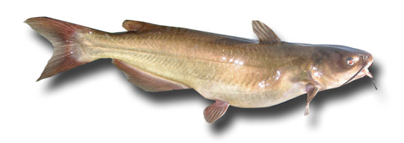 1catfish