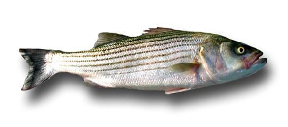 1fat-striper1