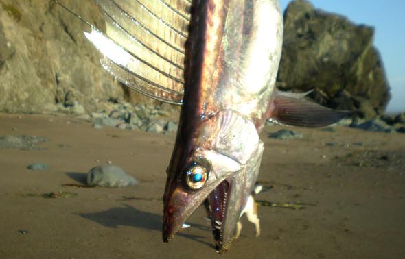 lancetfish2