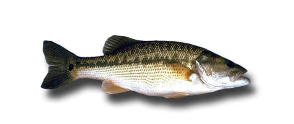 1spotted bass