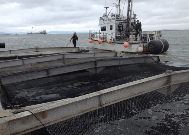 Once the fish are all loaded up and acclimated to their new surroundings, the pens are covered in netting to protect from bird attacks, the lines are cast off and the whole unit is towed to the release site.