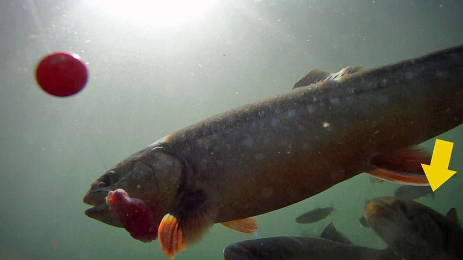 A dolly Varden has grabbed a glob of eggs intended for salmon…Apparently, his little buddy wants in on the action!
