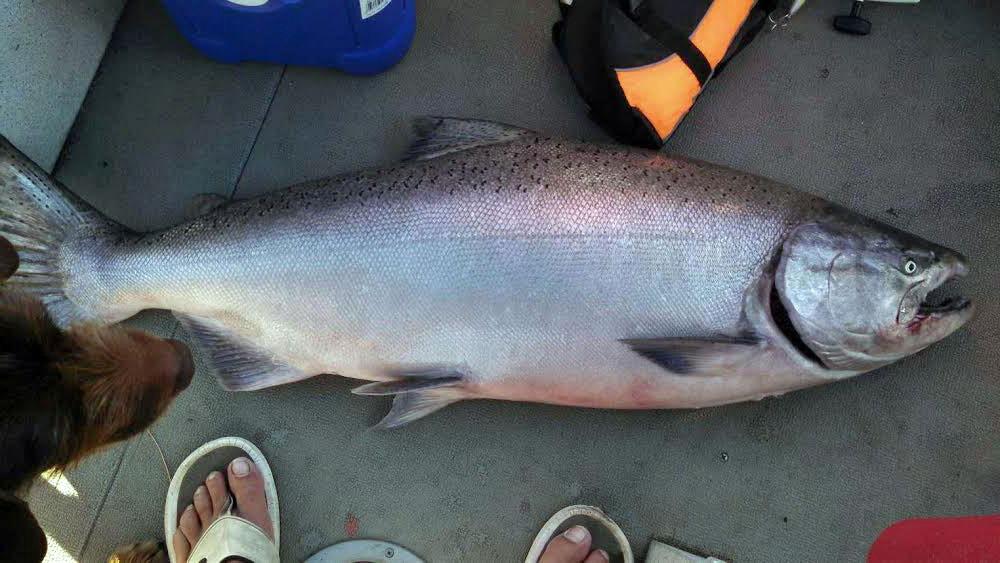 56-pound-king-salmon