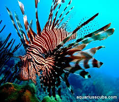 Red Lionfish are truly unique fish