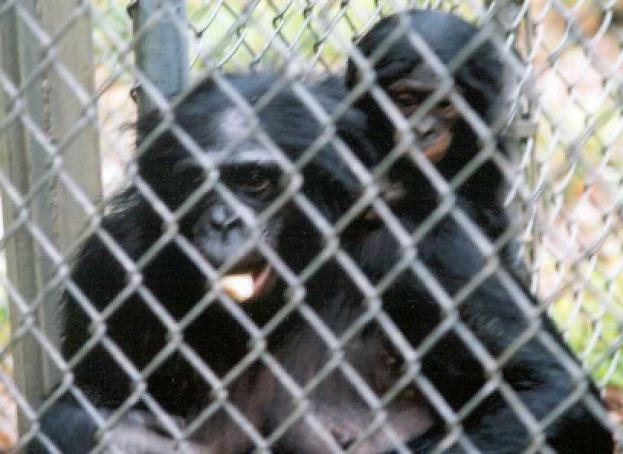 Panbanisha, a bonobo, with her eldest son Nyota.