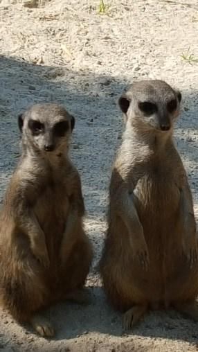 Erdmännchen im Tierpark :3