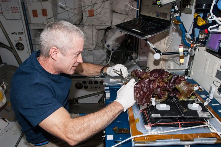 ISS-40_Steve_Swanson_harvests_a_crop_of_red_romaine_lettuce_plants