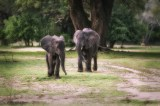 The elephants have noticed two lions lounging under a nearby tree and are approaching at speed to check things out.