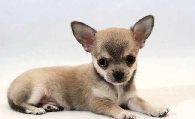 Le 10 razze di cane da tenere in appartamento e in for Nomi per cagnolini di piccola taglia