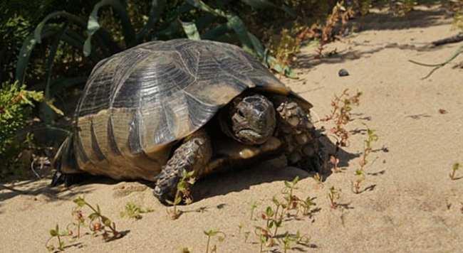 tartarughe di terra descrizione e caratteristiche meglio ForTartaruga Di Terra In Casa