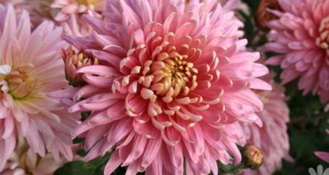 Fiori eduli - Crisantemo