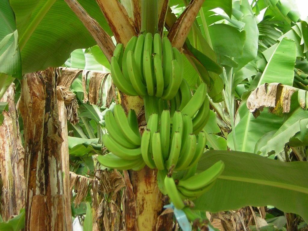 Pianta Di Banana Foto banane: caratteristiche, proprietà, benefìci e ricette originali