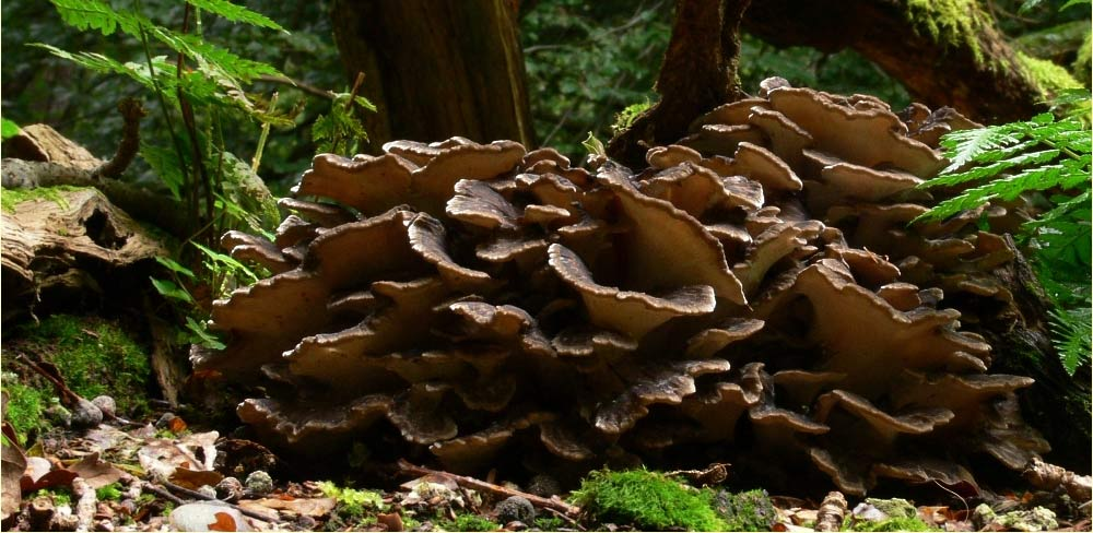 Funghi medicinali - Maitake