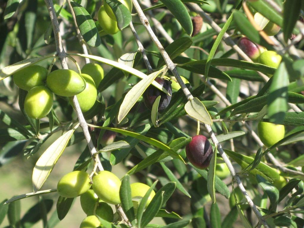 Olio di oliva - Pianta di olive