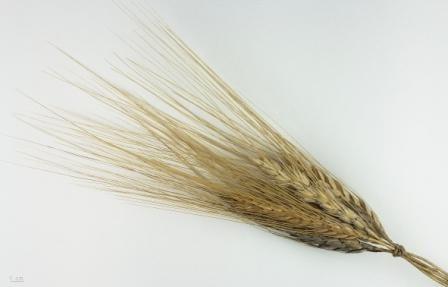 Farina di Kamut: foto della spiga di grano caratteristica