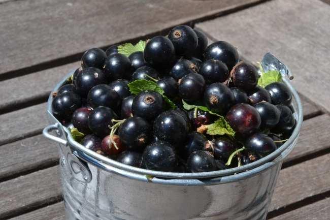 Ribes nigrum: proprietà, come e quando usarlo e controindicazioni