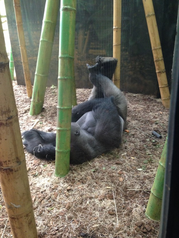 Gorillas - They're Just Like Us!