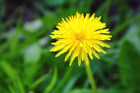 Dandelion Root to Combat Water Retention