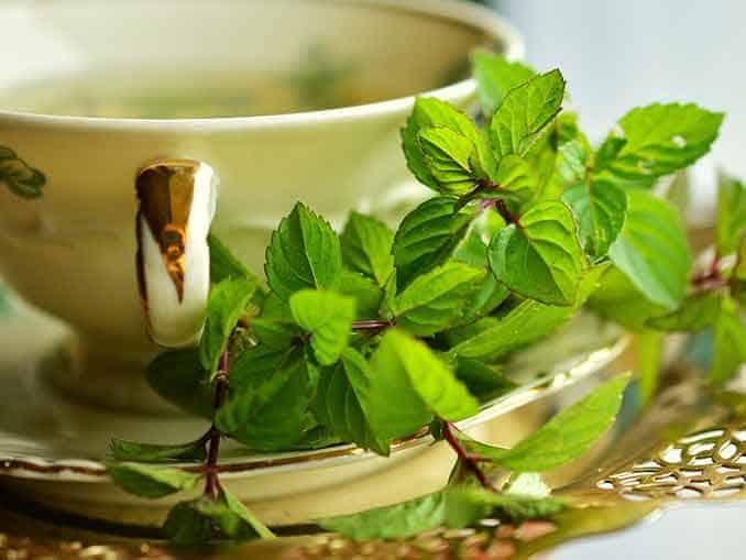 Green Tea Exract