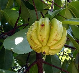 garcinia cambogia extracts are only effective if they contain at least 60% HCA.