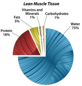 muscle mass structure