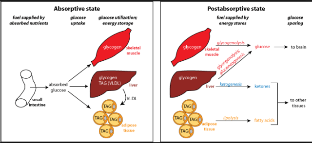 absorptive state nutrient timing