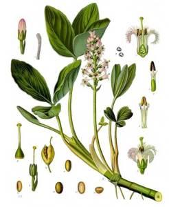 menyanthes_trifoliata