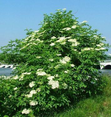 Sambucus nigra L_pianta