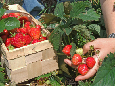 Harvesting by the student during a strawberry season