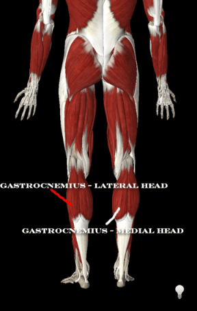 anatomy of calve muscles