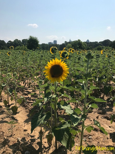 friday favorites, sunflowers, raleigh