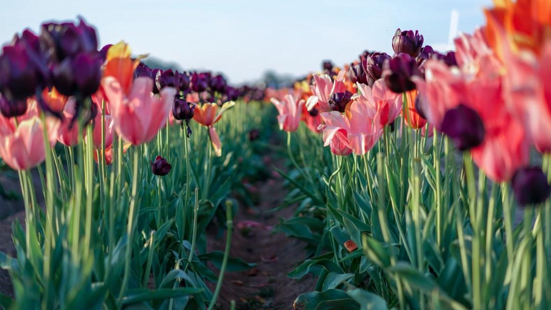 Tulip festivals in the USA