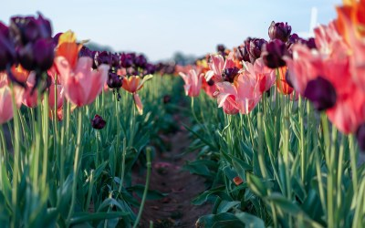 Tips for Visiting The Wooden Shoe Tulip Festival in Oregon