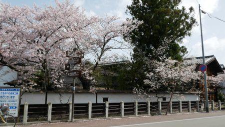 Sakura cherry blossoms Japan