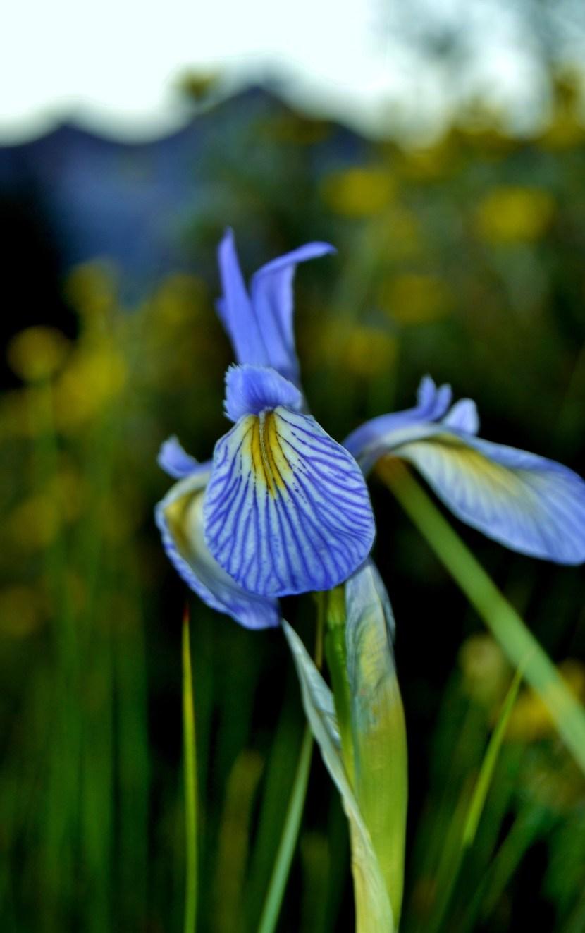 blue mountain iris descriptive color teacher