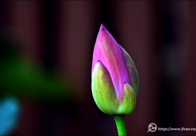 中興新村蓮花池