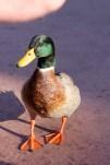 A duck wanting our kaki-gori