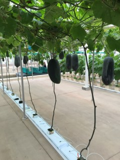 hanging winter melons