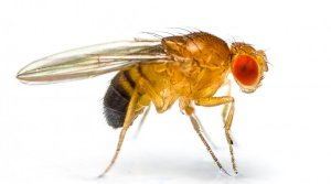 Fruit flies and the evolution of metabolism