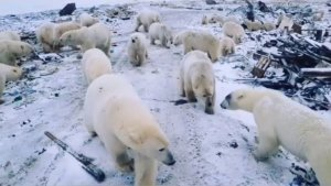 Polar bear 'invasion': how climate change is making human-wildlife conflicts worse